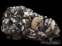 Amonit Discoscaphites conradi, małże i ślimaki