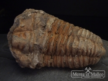 Duży ordowicki trylobit Flexicalymene ouzregui