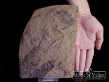Fora mioceńska sprzed 20mln. lat - okaz dwustronny
