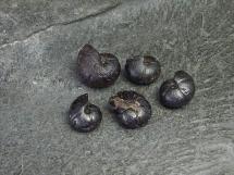 Goniatyty dewońskie - zestaw 5 sztuk - Maroko