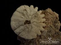 Jeżowiec Heliohora orbiculus na skale