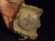 Jeżowiec Scutella paulensis w skale