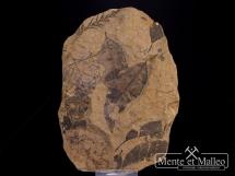 Rzadka flora mioceńska sprzed 20 mln lat