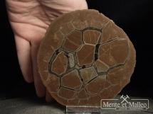 Septaria poligonalna