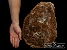 Skamieniałe drewno - okaz muzealny