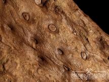 Stigmaria ficoides - wspaniały okaz