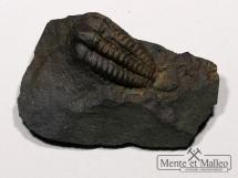 Trylobit Ellipsocephalus hoffi  w skale - 550 mln lat