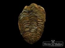 Trylobit Flexicalymene ouzregui