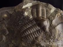 Trylobity Ellipsocephalus hoffi  w skale