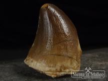 Ząb mozazaura Mosasaurus anceps