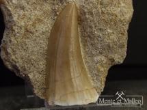 Ząb mozazaura Mosasaurus beaugei