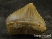 Ząb rekina Squalicorax pristodontus
