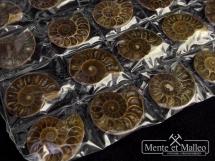 Zestaw 20 amonitów - 33-36mm - Madagaskar